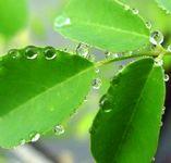 moringa-leaf2_mini.jpg